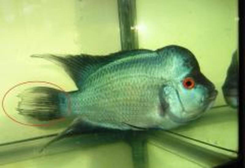 Onlinefishshop for Fish tail rot